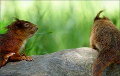 Spielende junge Eichhörnchen