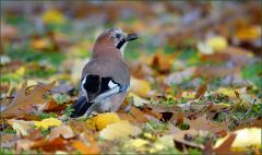 Eichelhäher im Herbstlaub