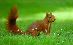 Eichhörnchen und Gänseblümchen