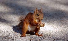 Eichhörnchen mit Nussschale