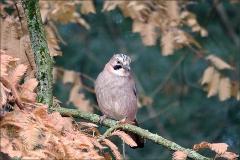 Eichelhäher im Herbstwald