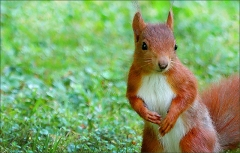 Wachsames Eichhörnchen