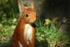 Nachdenkliches Eichhörnchen