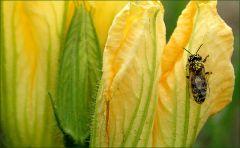 Kürbisblüte mit Biene