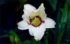 Lilie mit Regentropfen