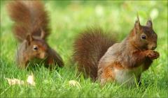 Zwei Eichhörnchen