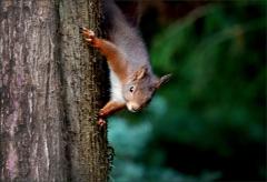 Eichhörnchenam Baumstamm