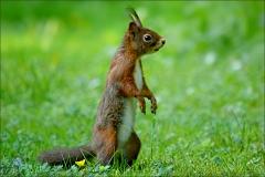 Eichhörnchen im Juni