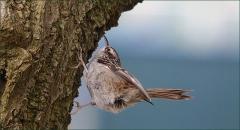 Baumläufer (Familie der Sperlingsvögel)