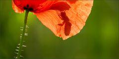 Im Gegenlicht transparentes Mohnblütenblatt