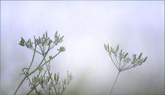 Verblühte Schafgarben