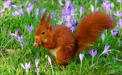 Eichhörnchen auf der Frühlinswiese