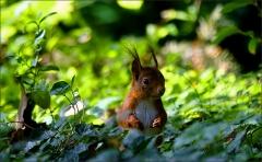Eichhörnchen am Waldrand