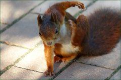 Das eichhörnchen krazt sich
