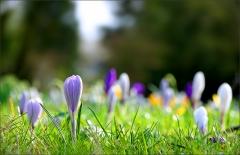 Frühlingswiese mit Krokussen