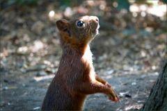 Eichhörnchen blickt nach oben