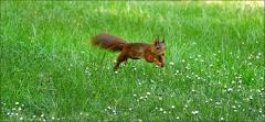 Eichhörnchen auf der Wiese mit Gänseblümchen