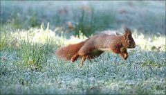 Springense Eichhörnchen