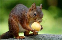 Das Eichhörnchen mit einer Aprikose