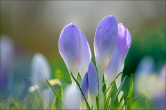 Krokusse in der Märzwiese