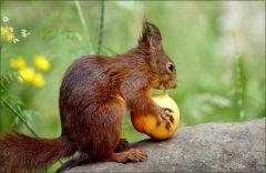 Eichhoernchen mit dem Apfel