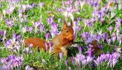 Eichhörnchen auf der Frühlingswiese
