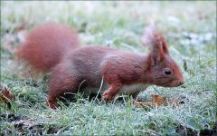 Eichhörnchen auf einer Wiese mit Raureif