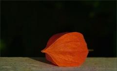 Lampionblume