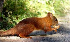 Eichhörnchen mit einer Walnussschale