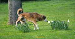 Hund  schnuppert an einer Narzisse
