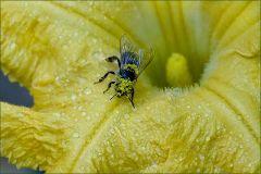 Pollen der Kürbisblüte