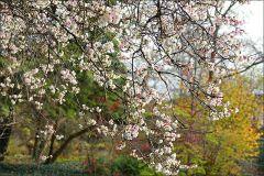 Blühender Kirschbaum im November