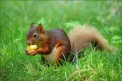Eichhörnchen mit einer Aprikose