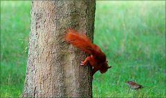 Das Eichhörnchen beobachtet einen Vogel