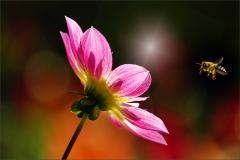 Dahlie und Biene