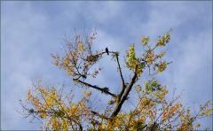 Rabe hoch im Baum