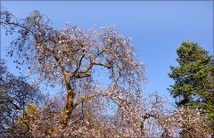 Kirschblüten im November