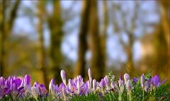 Krokusse auf der Märzwiese