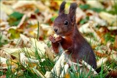 Eichhörnchen im Herbstlaub