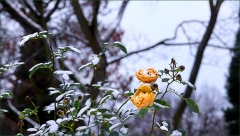 Gelbe Rosen im Schnee