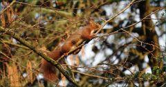 Eichhörnchen auf einem dünnen Ast