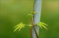 Kletterpflanze