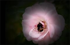 Hummel in einer Rose