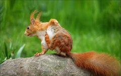 Das Eichhörnchen kratzt sich