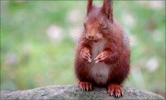 Eichhörnchen mit geschlossenen Augen