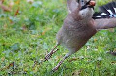 Eichelhäher im Abflug von der Wiese