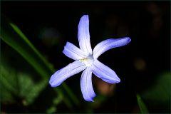 Kleine Blausternblume