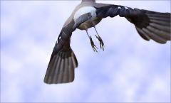 Eichelhäher im Flug