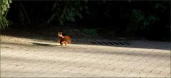 Rennendes Eichhörnchen