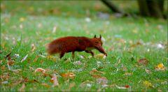 Springendes Eichhörnchen